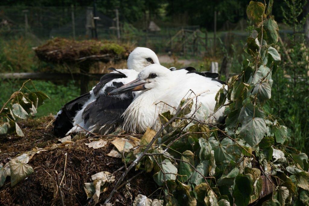 bociany wyrzucone z gniazdka Mazury z dziećmi - park dzikich zwierząt w Kadzidłowie Matka w kratkę