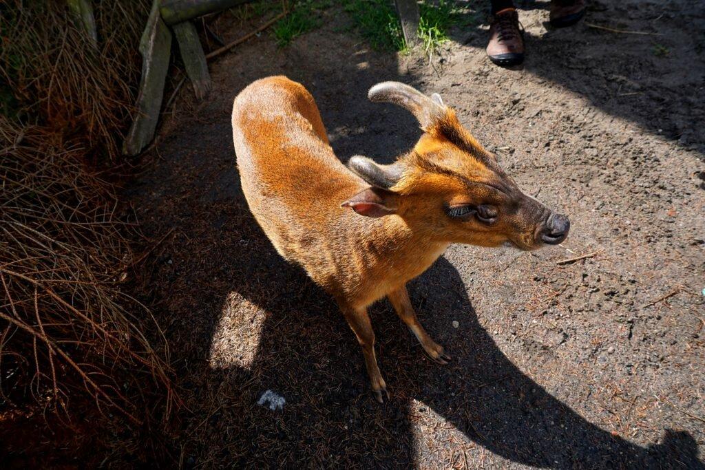 koziołek Mazury z dziećmi - park dzikich zwierząt w Kadzidłowie Matka w kratkę