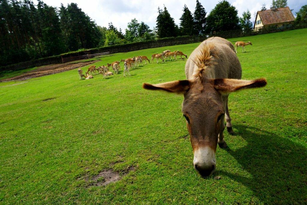 osiołek i jelenie Mazury z dziećmi - park dzikich zwierząt w Kadzidłowie Matka w kratkę